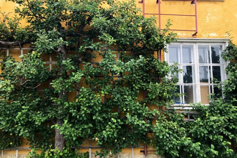 Omenapuita voi kasvattaa näinkin!